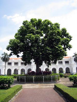Ipoh tree or pokok Ipoh