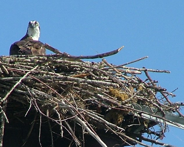 San Juan Osprey