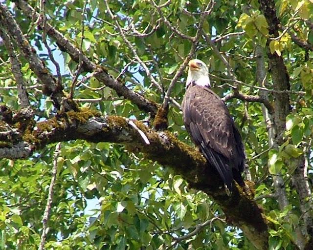 San Juan Eagle