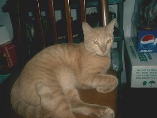 Mèo béo ngày Tết Đinh Hợi