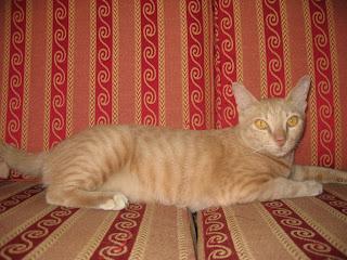 Mèo béo nằm salon