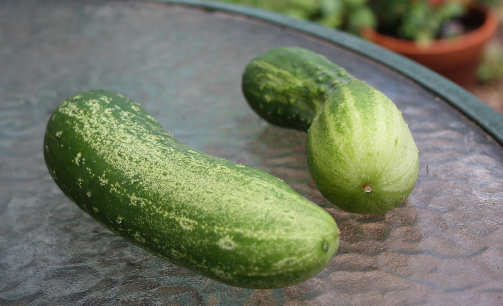 Cucumbers in assholes