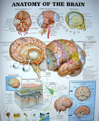 Brain Anatomy Chart by cobalt123