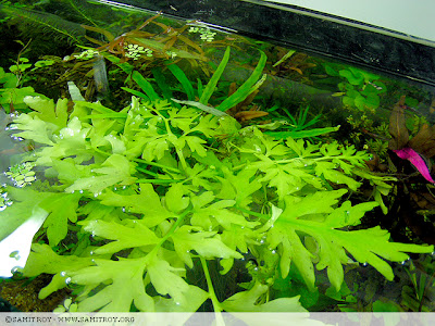 Samit's Planted Aquarium with Indian Fern