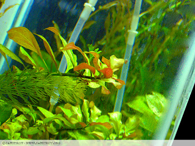 Ludwigia repens in Samit's Planted Aquarium