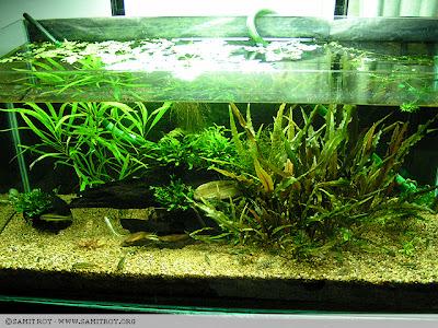 Samit's Planted Tank