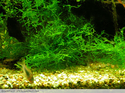 Samit's FIsh Tank with Java moss