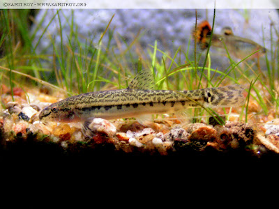 Indian Spiny Loach of Samit Roy