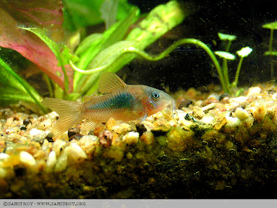 Bronze Corydora from Samit's planted tank