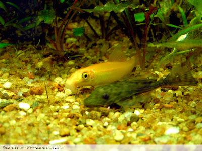 Golden CAE or Chinese Algae Eater (Gyrinocheilus aymonieri)