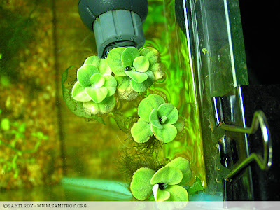 Pistia or Water Lettuce in Samit's Tank