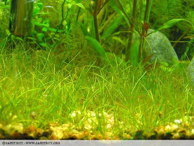 Nature aquariums aquascapes of samit roy hair grass Hair grass aquascape