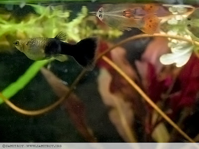 Female Guppy in Samit's Tank