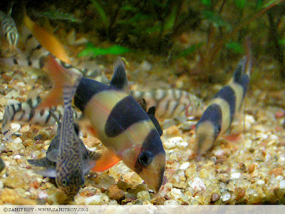 Clown loaches and other loaches