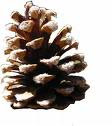 I Love Pinecones