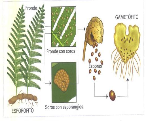Reproduccion asexual de las plantas por esporas plantas