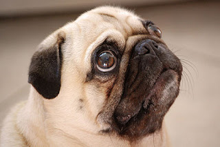 Cool Pug with beautiful eyes wallpaper