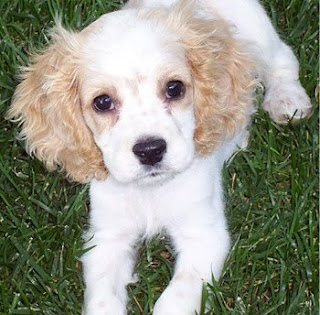 Cute Cocker Spaniel dog puppy