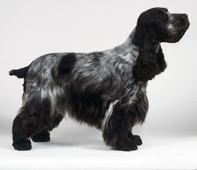 Black and grey Cocker Spaniel dog looks beautiful