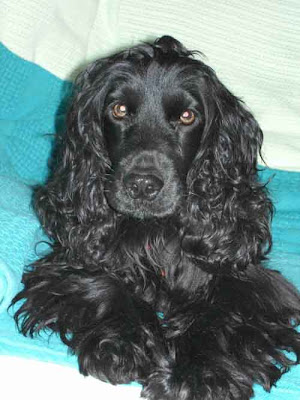 Black English Cocker Spaniel dog with great look