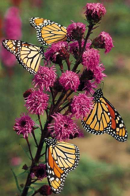 Endangered New Jersey: Butterfly and Hummingbird Gardens