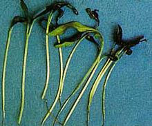 Penyakit Pokok Cili (5) —> Lecur Anak Benih