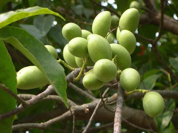 2013 09 16 19 48 錫蘭橄欖