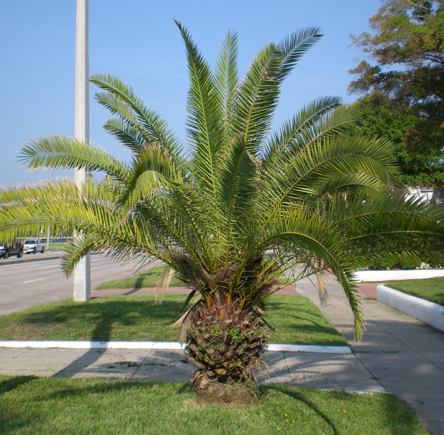 gardening with palms. Black Bedroom Furniture Sets. Home Design Ideas