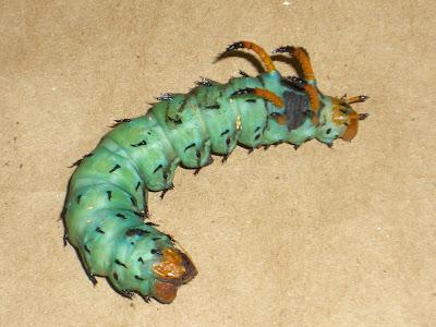 Single horned caterpillar