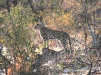 [ZBN1487+leopard.jpg]