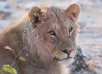 [ZBA1487:lion.jpg]