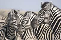 [ZBN1487:2Etosha+zebra.jpg]