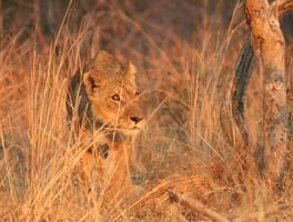 [ZA2077:2+lioness-kafue.jpg]