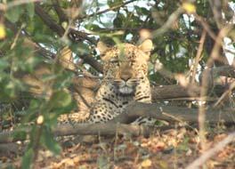 [ZA2077:1+Kafue+leopard.jpg]