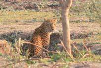[ZA2077Leopard,+Luangwa.jpg]