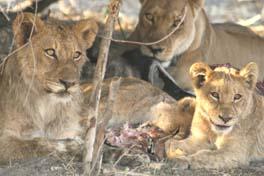 [ZA2077:4_lions-under-bush-c.jpg]