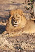 [Miller:2+male+lion.jpg]