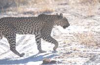 [Miller:3+leopard.jpg]