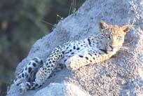 [Miller:4+leopard.jpg]
