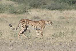 [B2946:1+cheetah.jpg]
