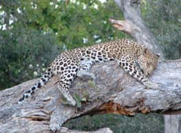 [B2846:4+leopard.jpg]