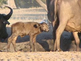 [B2946:7+baby+buffalo.jpg]