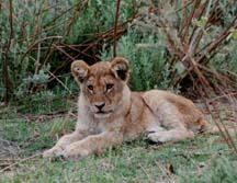 [Lion+cub+11:10+DobbsDSC_0243.jpg]