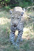 [Young+Leopard+DobbsDSC_0262.jpg]