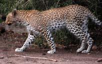 [Edgar:2+leopard.jpg]