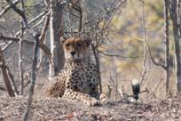 [Edgar:1+cheetah.jpg]