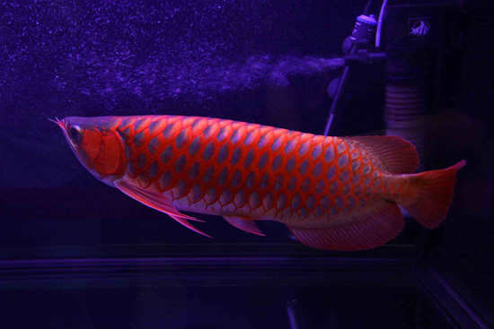 My Funny: Arowana - Expensive Fish | Pictures