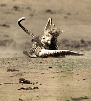 [Image: Leopard_Croc_Fight_13.jpg]