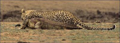 [Image: Leopard_Croc_Fight_11.jpg]