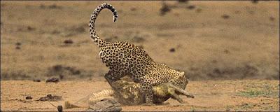 [Image: Leopard_Croc_Fight_06.jpg]